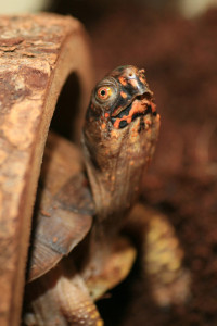 CC box turtle