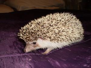 CC hedgehog