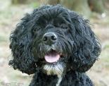 Fairfax dog Papoo