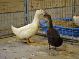 hsmo ducks