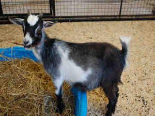 hsmo goat