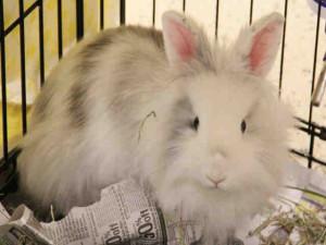 hsmo rabbit