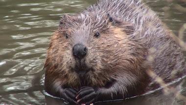 springfarm beaver