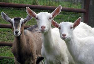 springfarm goats_sage