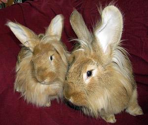 springfarm rabbit_lionheads