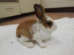 Boulder rabbit