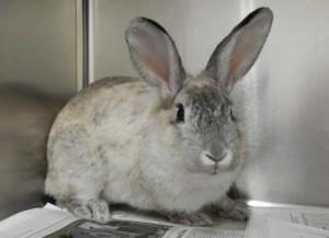 Sacramento rabbit Petal