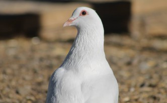 HarvestHome pigeon
