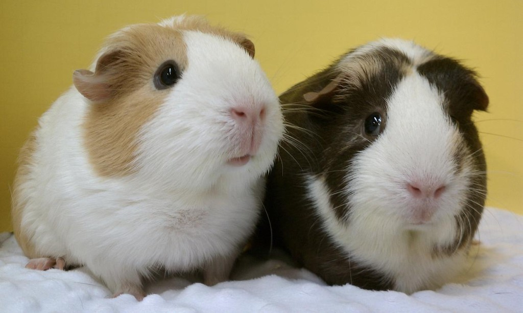 Cavy Care 1