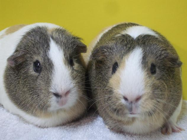 Cavy Care 3