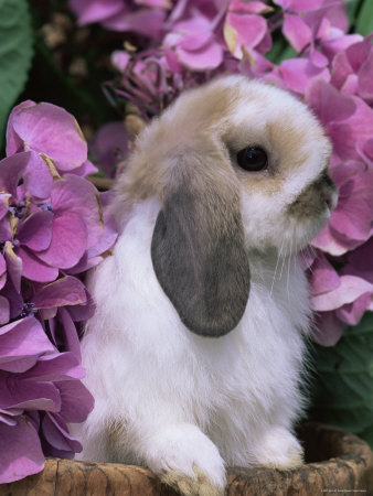 NC Lop-Eared-Rabbit-