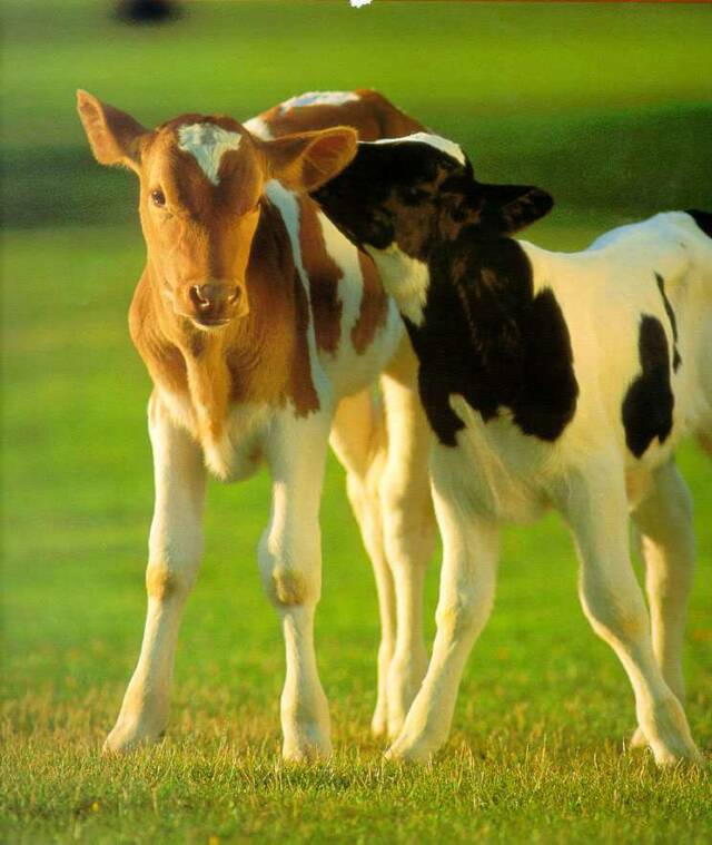 NC cow_calves-whispering