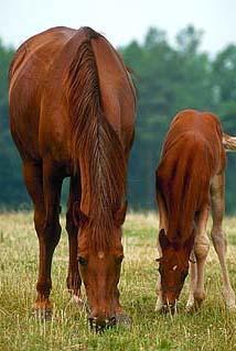 TX mare-foal