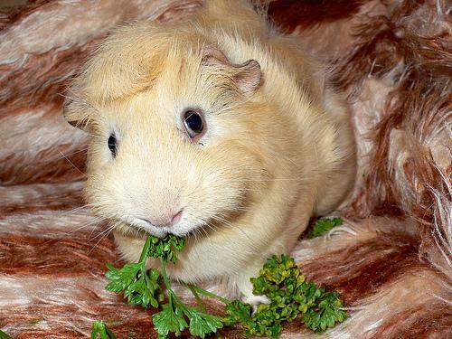 TX week guinea pig
