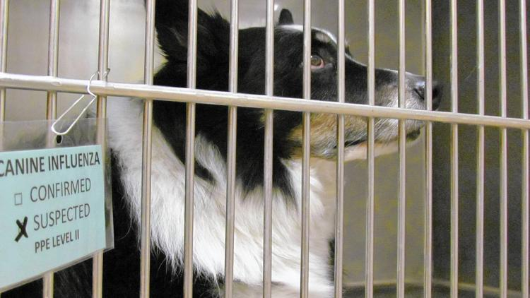 Loki, a 4-year old border collie, was placed in the Step-Down Ward at VCA Aurora Animal Hospital for observation for suspected flu symptoms. He was doing well on Friday. (Linda Girardi, The Beacon-News)