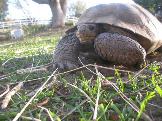 Tortoise Rescue Gimpy