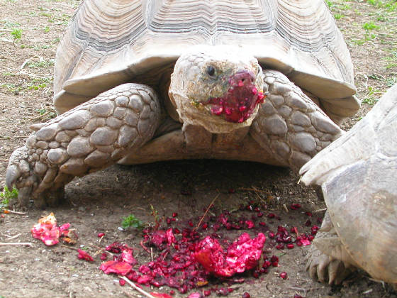 American Tortoise Rescue | The latest news from PetravelR com