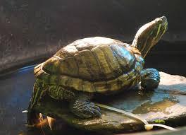 pet turtle 1
