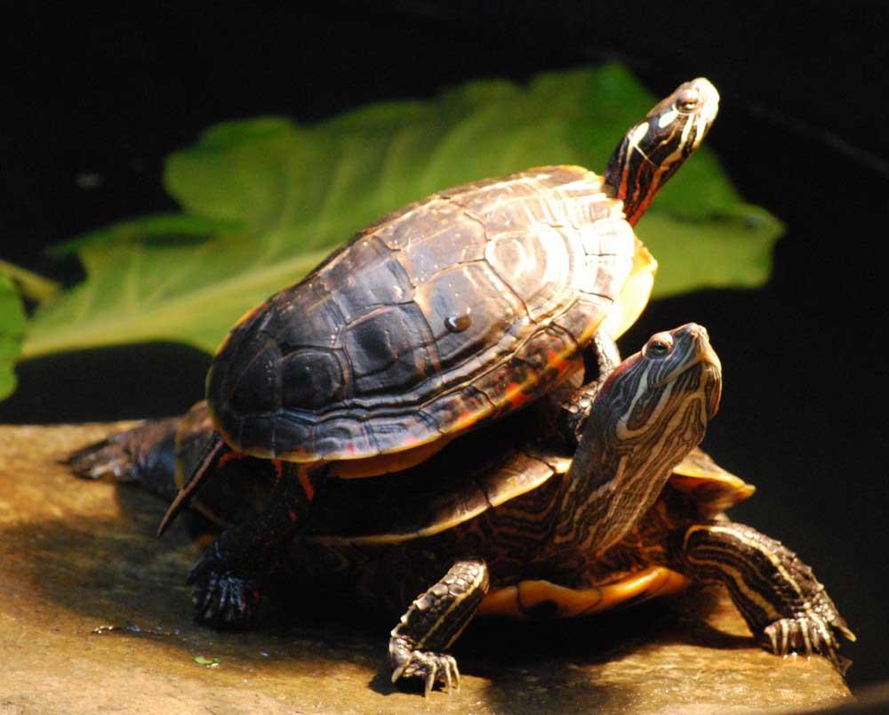 pet turtle 2