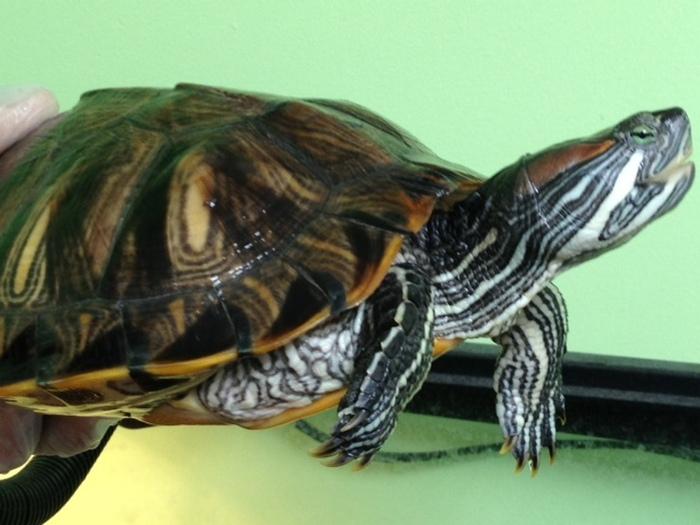 pet turtle 3