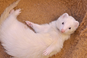 Ferret Dreams albino