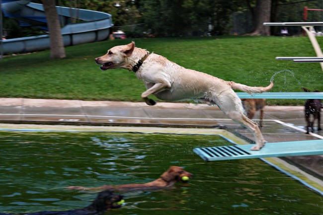 St Louis Dog-swim Andrew Macgill Flickr