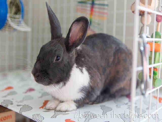Wake SPCA bunny 1