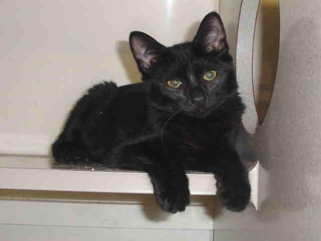 Wake SPCA cat 1