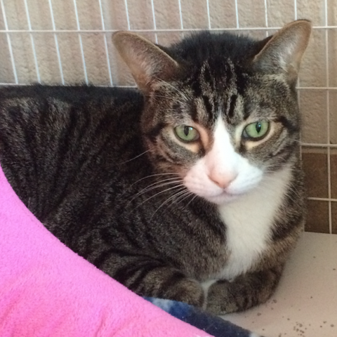 LOUIE * 8-year-old male domestic shorthair