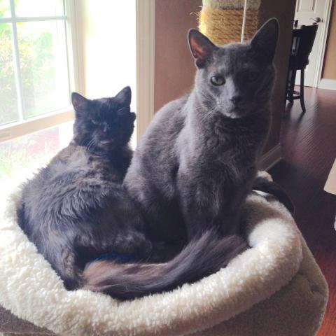 SASSY & SMOKEY * 12-year-old domestic shorthair and domestic longhair